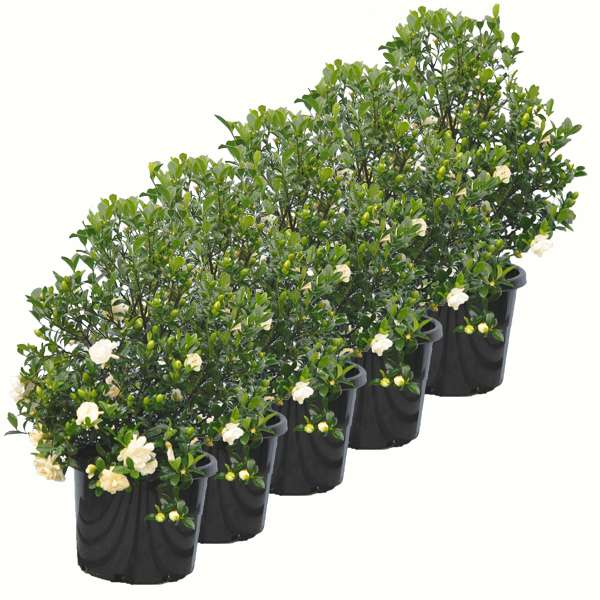 Gardenia 300mm