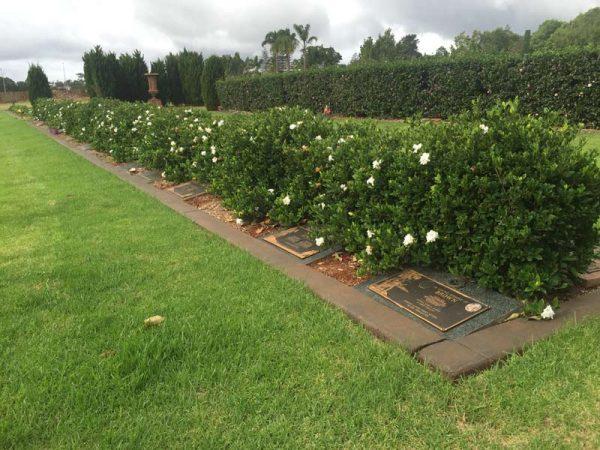 gardenia flordia plant