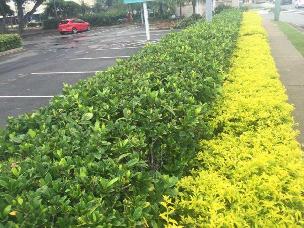 gardenia flordia hedge
