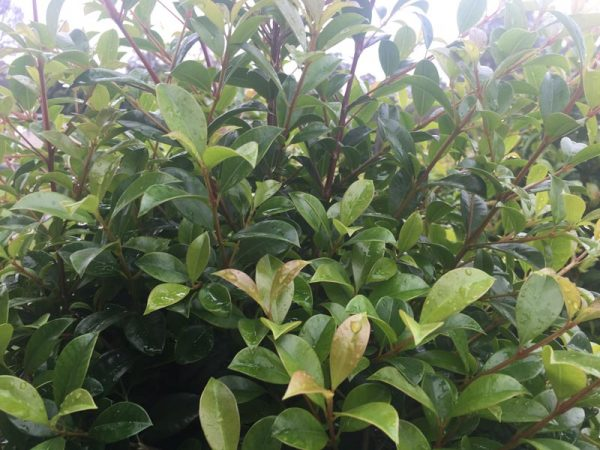 Lilly-Pilly-Superior-Hedge-2