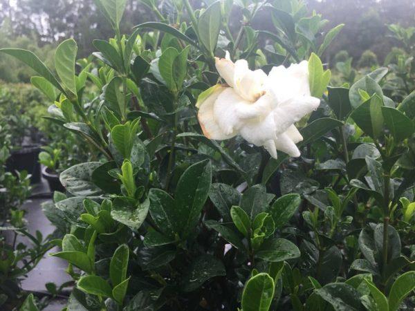 Gardenia Magnifica Flower