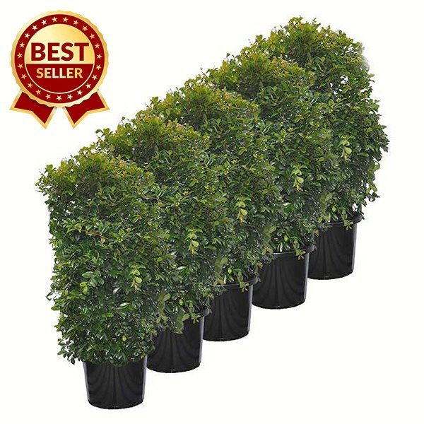 Lilly Pilly Reslience 300mm Pot Size